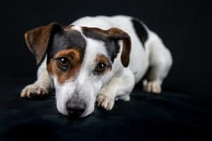 Why Jack Russells Are the Hardest Dogs to Potty Train Out There