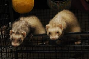 Are Ferrets A Danger Only To Chinchillas