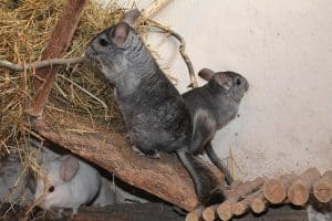Can Chinchillas Eat Fruits And Vegetables