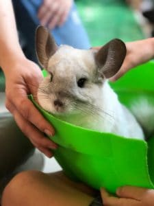 How Do Chinchillas Camouflage Their Bodies In Different Countries