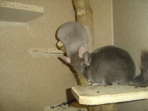 How Does A Chinchilla Bathe