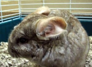 What Does A Chinchilla's Diet Consist Of