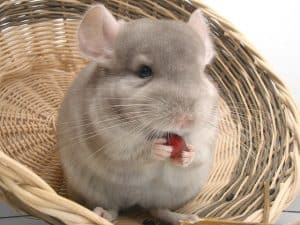 To Bond With Your Chinchilla