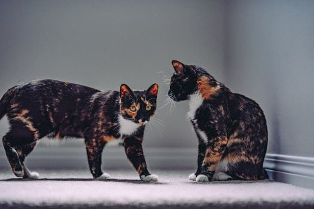 Are Cats Happier In Pairs