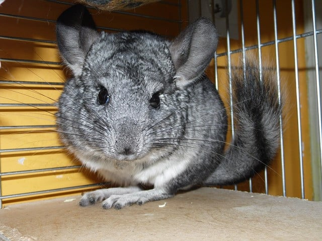 Can Chinchillas Suffer From Depression