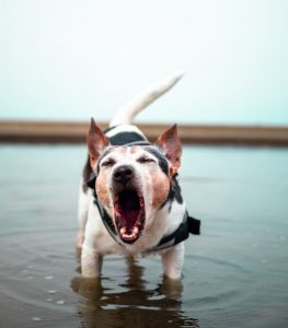 Do Dogs Tire of Barking