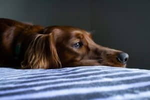 How To Know If Your Dog Is In Pain