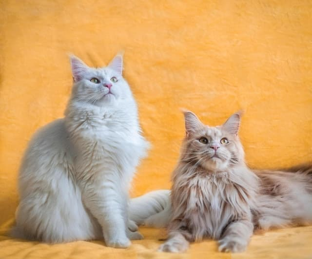 The Pros And Cons Of Getting A Second Cat