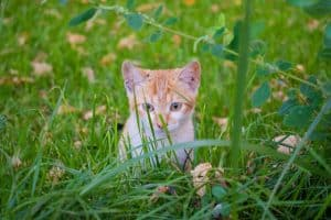 what are the benefits of cat grass