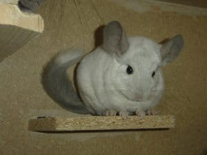 What Foods Are Toxic to Chinchillas