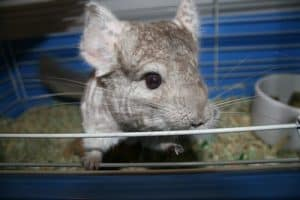 How Do Chinchillas Respond to Music