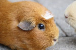 What If You Already Own a Guinea Pig and a Chinchilla