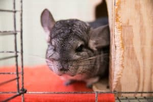 What Kind of Music Should I Play for My Chinchilla